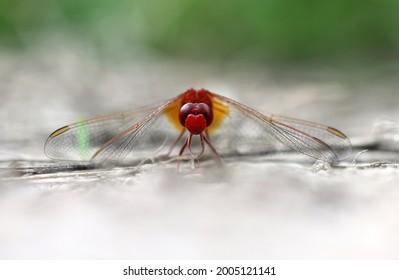 Scarlet Darter the fiery dragonfly