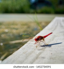 Scarlet dragonfly (Crocothemis erythraea) on a yetty at a lake in Germany