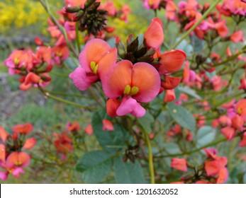 Scarlet Flame pea Kennedia coccinea