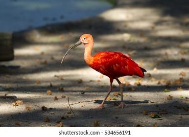 Scarlet Ibis bird with long beak