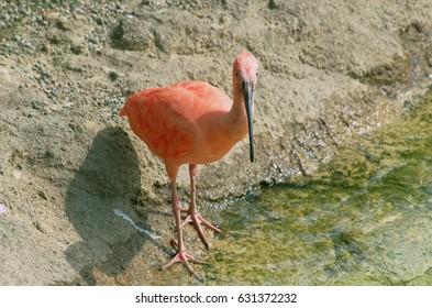 Scarlet ibis ( Eudocimus ruber )