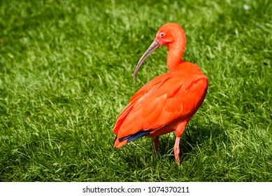 Scarlet ibis (Eudocimus ruber) is a species of ibis in the bird family Threskiornithidae. Inhabits tropical South America and islands of the Caribbean. Close up of scarlet ibis walking on grass.