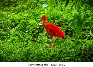 Scarlet ibis, Eudocimus ruber in tropical forest
