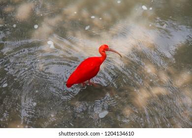 Scarlet Ibis exotic bird