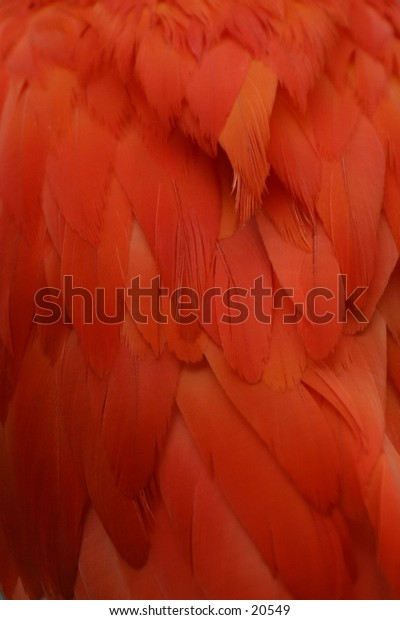 Scarlet Ibis Feathers