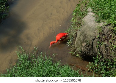 Scarlet Ibis hunting for fish in a swamp