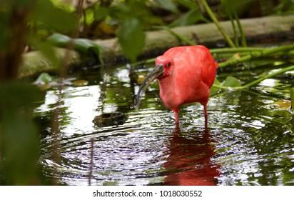 Scarlet Ibis in Water
