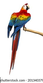 Scarlet Macaw (4 years old) perched on a branch, isolated on white