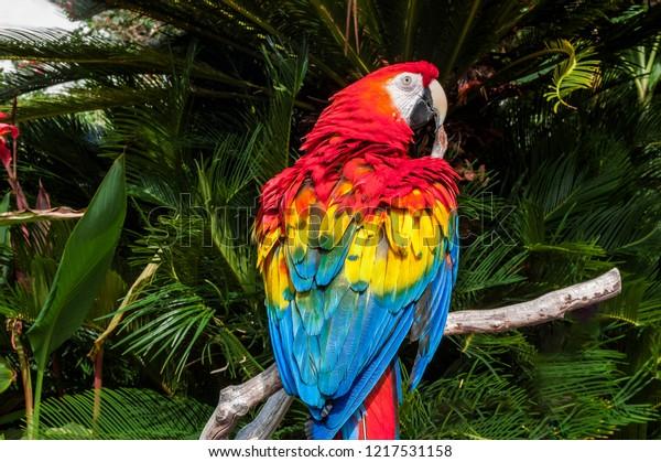 Scarlet Macaw Ara Macao Aviary Los Stock Photo (Edit Now