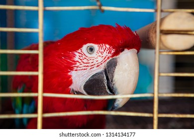 The scarlet macaw (Ara macao) in a cage. Wildlife trade issue