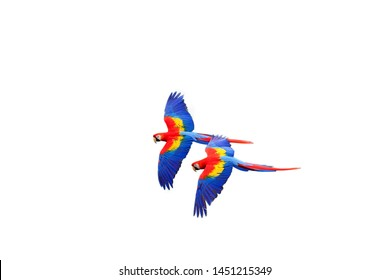 The scarlet macaw (Ara macao) flying  with white background. Macaw pair flying isolated.