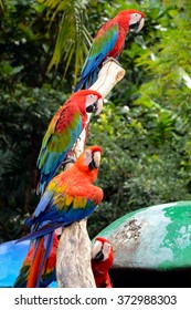 Scarlet macaw (Ara macao) is a large, red, yellow and blue South American parrot.