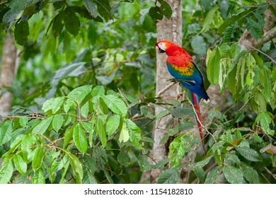 Scarlet Macaw (Ara macao) sitting on a tree in Tambopata National Reserve, Peru