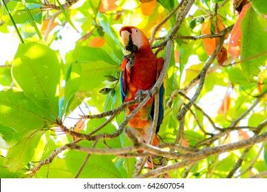A Scarlet macaw (Ara macao macao) sitting in an Almond Tree eating. At Punta Islita on the Nicoya Peninsula in Costa Rica.