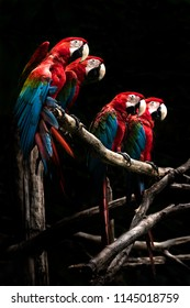 Scarlet macaw  beautiful bird isolated on branch with black background.