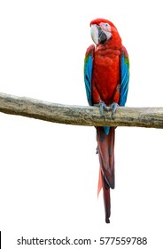 Scarlet macaw, beautiful bird isolated on branch with white background.