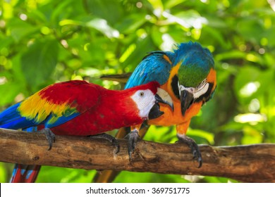 Scarlet macaw and Blue And Gold macaw perched on a branch.