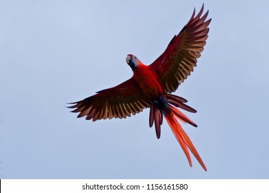 Scarlet Macaw close up in flight.  Beautiful, vivid bird with full wingspan against a blue sky.