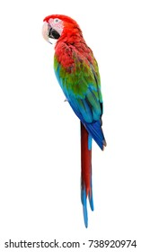 Scarlet Macaw, Colorful bird perching with white background and clipping path.