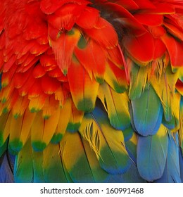 Scarlet Macaw feathers.