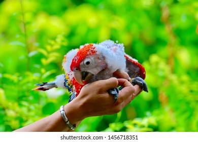 Scarlet Macaw Flapper, This is scarlet macaw flapper age 1 month