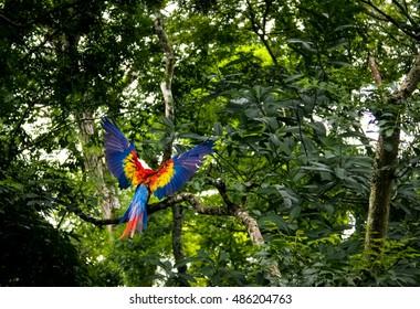 Scarlet Macaw Flying - Copan Archaeological Site, Honduras