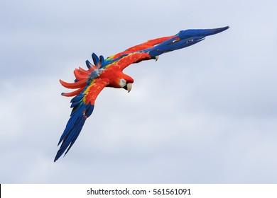 Scarlet Macaw heading in. A colourful scarlet macaw flies towards the camera.