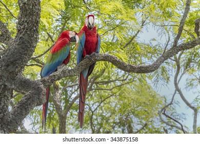 Scarlet Macaw - Pantanal, Brazil