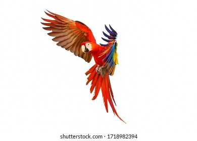 Scarlet macaw parrot flying isolated on white background.