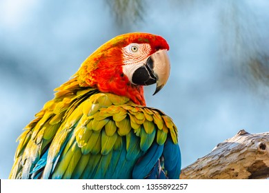 Scarlet macaw parrot perching on branch and looking in camera.Blurred blue sky in background.Beautiful, large and colourful tropical bird.Wildlife photography.Bright and vibrant image with copy space.