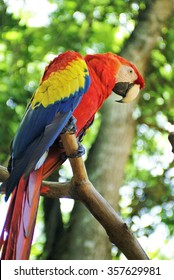 Scarlet macaw (Ramphastos sulfuratus) perched on a wooden limb