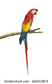 Scarlet Macaw, a red yellow and blue kind of large parrot, isolated on white