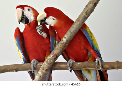 Scarlet Macaw - Share