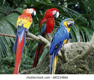Scarlet Macaw,Green-winged Macaw with Blue and Yellow Macaw .The colorful and beautiful Parrot species suffered from local extinction through habitat destruction and capture for bird trade.