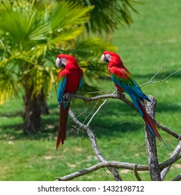 scarlet macaws, Ara macao, two beautiful parrots perched on a tree