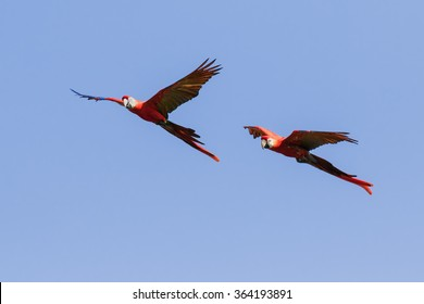 Scarlet macaws crossing a clear  blue sky. Two stunning scarlet macaws make their way across a clear blue sky.