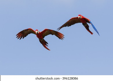 Scarlet Macaws in flight. A pair of beautiful scarlet macaws are seen flying across a clear blue sky.