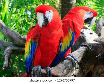 Scarlet macaws portrait