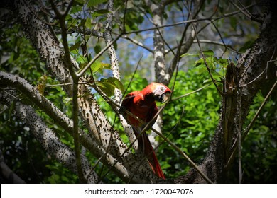 scarlet maccaws in the forest of costa rica