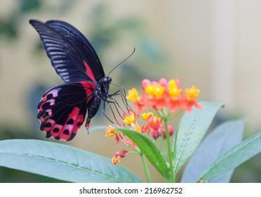 Scarlet mormon butterfly feeding on a flower