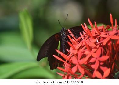 Scarlet mormon butterfly on a cluster of red flowers.