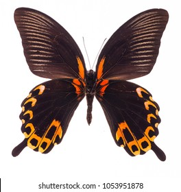 Scarlet Mormon (Papilio rumanzovia) isolated on a white background