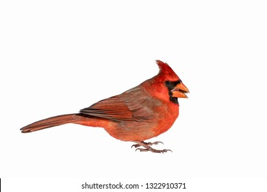 Scarlet Northern Cardinal Portrait Isolated on a White Background