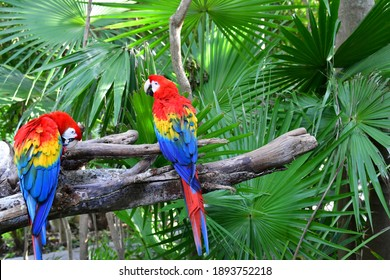 The scarlet parrot (red) is one of the most fascinating parrots of all Macaw species. Ara macao is described as magnificent, beautiful and amazing, and for others it is in bad taste