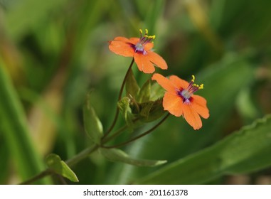 Scarlet Pimpernel - Anagallis arvensis Smal red flowers