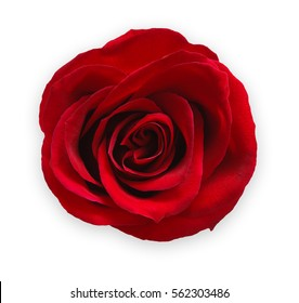 Scarlet red rose flower isolated on white background. Bud closeup, top view