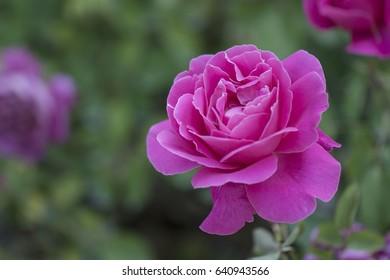 scarlet roses in the garden
