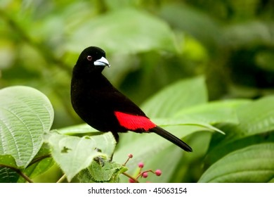 Scarlet - rumped Tanager