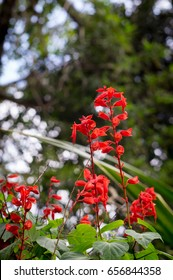 A Scarlet Sage (Tropical Sage) planted in a corner in a bush in Sao Paulo / Brazil.