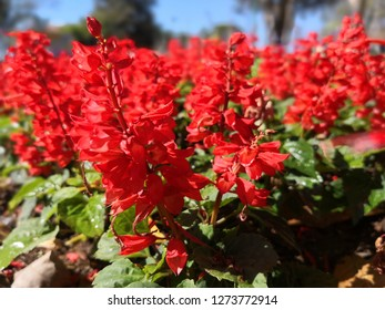 Scarlet sage,plant variety salvia divinorum, bright red flowers in full bloom in a flowerbed in the garden, green dark foliage lit by the sun, evening light, nature in all its beauty.